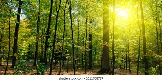 Autumn forest, yellow leaves and the sun set. Wide photo.