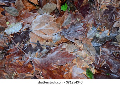 Autumn Frost A carpet of frosted autumn leaves on the forest floor