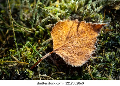 Autumn frosted birch leaf on green grass. Beautiful frosty morning. Autumn ends, winter is coming. Copy space.