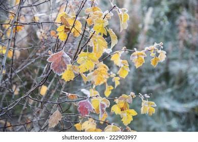 Autumn frozen leaves close up