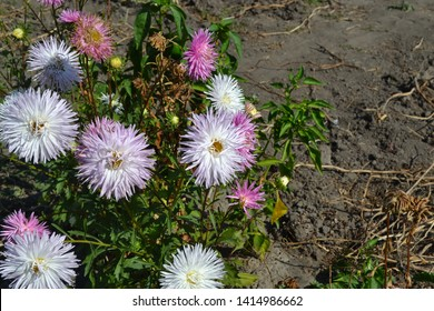 Autumn garden. Beautiful blooming asters of pink and white. Autumn landscape, colorful aster. Selective focus