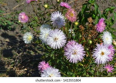 Autumn garden, home flower bed. Beautiful blooming asters of pink and white flowers against other inflorescences. Autumn landscape with colorful aster. Selective focus