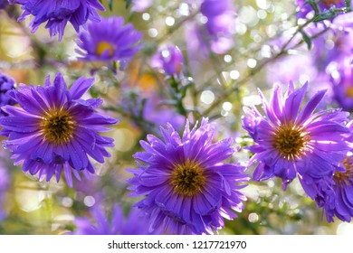 Autumn garden.  Perennial garden asters of violet color. Morning dew drops. Aster amellus, the European Michaelmas-daisy.