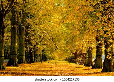 Autumn glory, avenue of Lime trees with golden leaves in nottinghamshire, UK