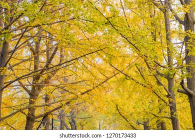 Autumn golden woods。