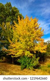 Autumn Golden Foilage