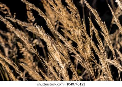 autumn golden grass field