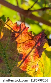 Autumn and grape harvest: Red leaves in a vineyard
