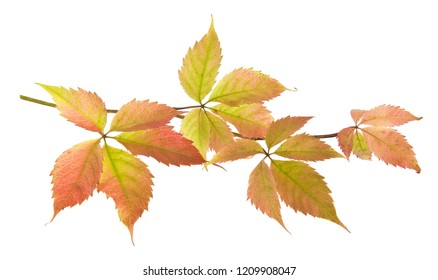 autumn grape leaves isolated on white background