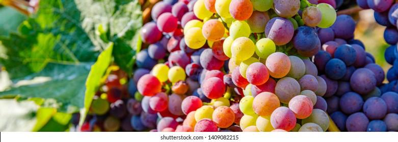 Autumn grapevine in Vineyards, German Wine Road, Rhineland Palatinate Germany. New vintage wine background concept, banner