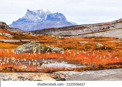 Autumn greenlandic  tundra plants and flowers  with Sermitsiaq mountain in the background, Nuuk, Greenland