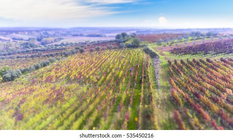 autumn, harvest of Aglianico del Vulture of the Lucan hills, south Italy