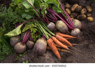Autumn harvest of fresh raw carrot, beetroot and potatoes on ground in garden. Harvesting organic vegetables