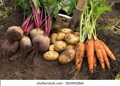 Autumn harvest of organic vegetables on soil in garden. Freshly harvested carrot, beetroot and potato