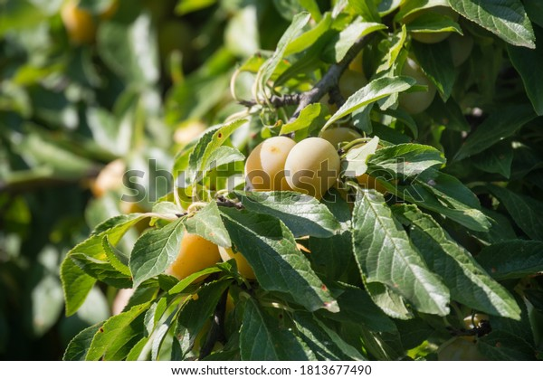 autumn-harvest-plums-bunch-yellow-600w-1