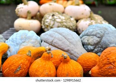 Autumn Harvest Or Ripe Pumpkings