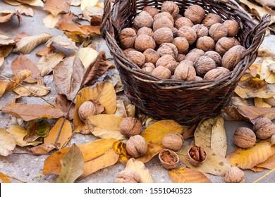 Autumn harvest. Unpeeled walnuts in a wicker basket in garden on background of fallen yellow leaves
