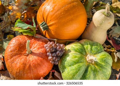 Autumn harvest of various pumpkins with drops of water: butternut squash, orange and japanese pumpkin, howden. Bunch of grapes is on the pumpkin. Autumn leaves background.  Above view