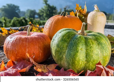 Autumn harvest of various pumpkins with drops of water: butternut squash, orange and japanese pumpkin, howden on the stone rustic surface with autumn leaves. Forest background.  Front view