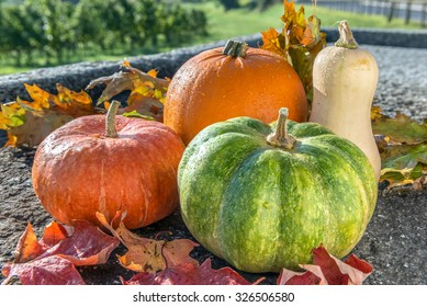 Autumn harvest of various pumpkins with drops of water: butternut squash, orange and japanese pumpkin, howden on the stone rustic surface with autumn leaves. Vineyard background.  Above view