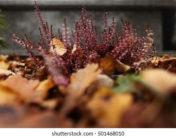 autumn heather