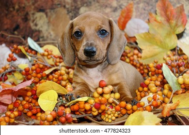 Autumn Holiday Dachshund Puppy in a fall scene of colored leaves and berries.  Front on view of a miniature red smooth haired dachshund puppy dog in a fall display.