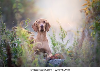 Autumn hungarian vizsla dog portrait in morning sun