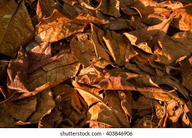 Autumn Indian almond leaf