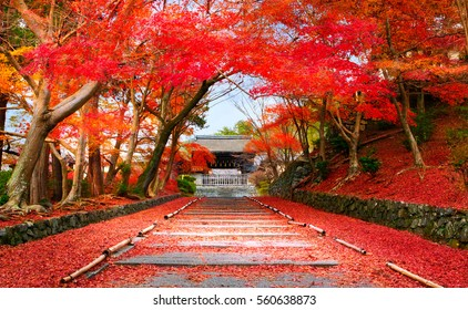 Autumn in Japan Kyoto, entrance of the temple Bishamon-do covered with red leaves.