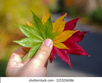 Autumn Japanese maple leaves gradation in hand.