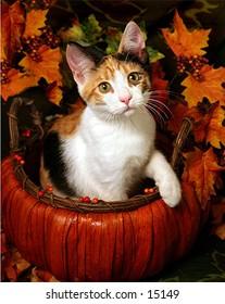 Autumn kitten 1-B