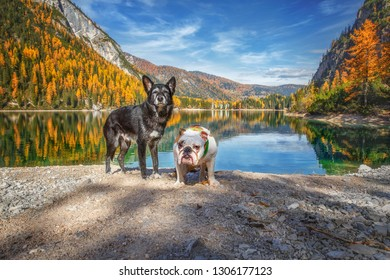 Autumn at Lago di Braies.Two dogs stand by the lake.Beautiful view of the famous lake. Famous Lake of Italy. Autumn scenic view of Lago di  Braies. Dolomites.Trentino. Dogs on the lake. Europe
