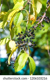 Autumn landscape, berries bird cherry. a small wild cherry tree or shrub, with bitter black fruit that is eaten by birds.