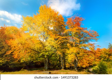 Autumn landscape - big yellow orange trees in autumnal forest, blue sky, sunny day, colorful leaves