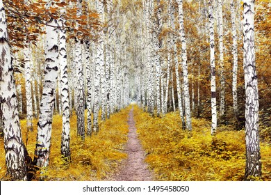 Autumn landscape with a birch forest. White birch and yellow leaves. Trail in the middle of trees
