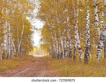 autumn landscape birchwood