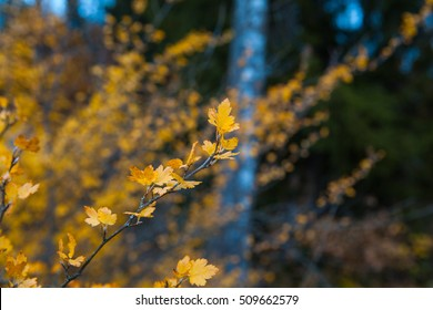 Autumn landscape. The branches of the gooseberry. Yellow leaves.