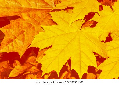 autumn landscape with bright colorful leaves. Indian summer. maple