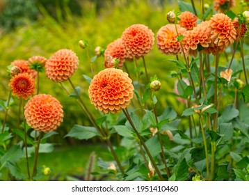 Autumn landscape. Dahlia flowers. Beautiful orange flowers on green leaves background. Bouquet of orange dahlia. Chrysanthemum on the green meadow. Close up floral, soft bokeh. Orange petals.
