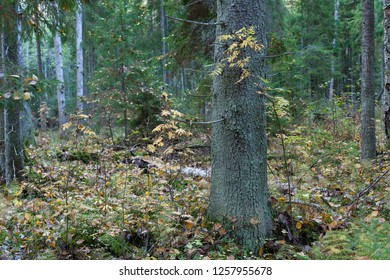 Autumn landscape in the fir forest with a mixture of birch