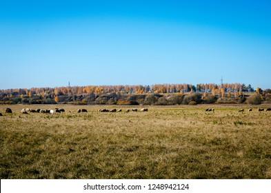 Autumn landscape grazing sheep in a meadow in Russia. Flock of sheep grazing in a meadow