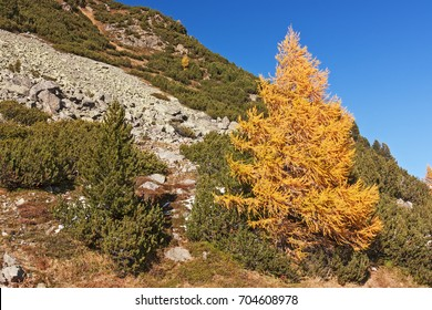 Autumn landscape with a larch in fall foliage, swiss stone pines and a scree slope in the Val Susasca, a side valley of  the Engadine valley in Grisons (Graubuenden), Switzerland
