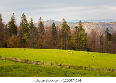 Autumn landscape photo with sheeps taken in polish Beskidy mountains, Grabowa.