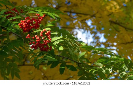 Autumn landscape photography, mountain ash in full beauty, illuminated by the colors of autumn. A tree with fruits in the form of a bunch of orange-red berries, as well as the most berries