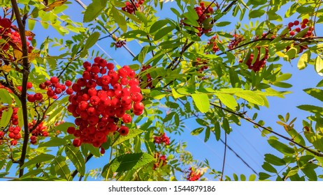Autumn landscape photography, mountain ash in full beauty, illuminated by the colors of autumn. A tree with fruits in the form of a bunch of orange-red berries.Branch of ripe berries mountain ash