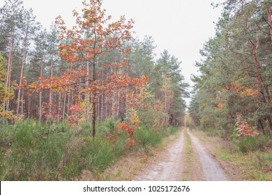 Autumn landscape in pine forest. Nature in the vicinity of Pruzhany, Brest region,Belarus.