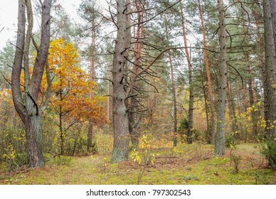 Autumn landscape in pine forest. Nature in the vicinity of Pruzhany, Brest region.