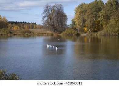 Autumn landscape with pond, woods on the shores and floating in the water geese.