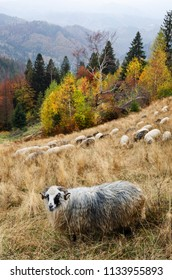 Autumn landscape. Sheep in the pasture in the mountains