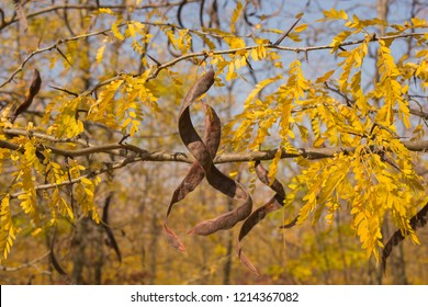 Autumn landscape. Trees threw off foliage. Plantations of Carob trees. Honey locust (Gleditsia triacanthos), thorny locust.